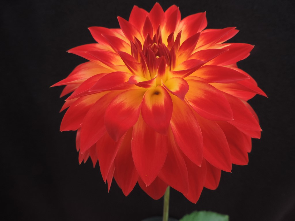 Bloomquist Rose