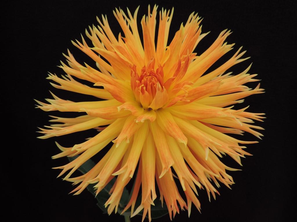Bloomquist Tangerine